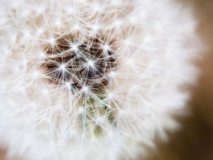 dandelions flowers spring portrait photography Richardson Texas
