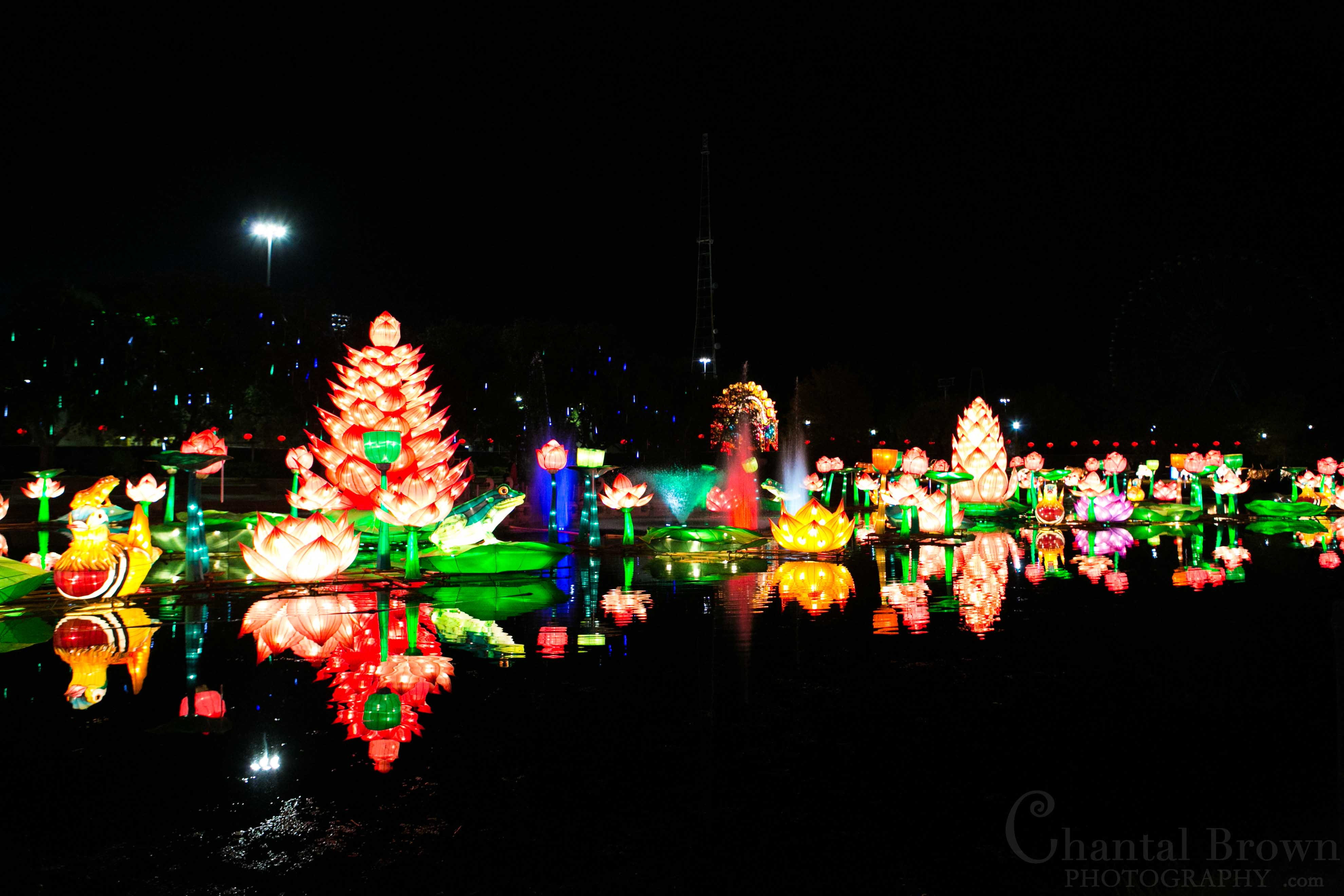 beautiful colorful lotus flowers lights in the lake chinese lantern festival in dallas fair park