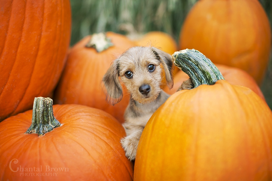 my dog first pumpkin patch at Murphy Church in Texas dog portrait photographer