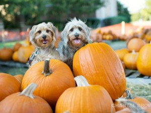 puppies mixed Terrier Poodles and Dachshund is setting on orange pumpkins at the pumpkin patch in Murphy Texas by Chantal Brown dallas portrait Photographer